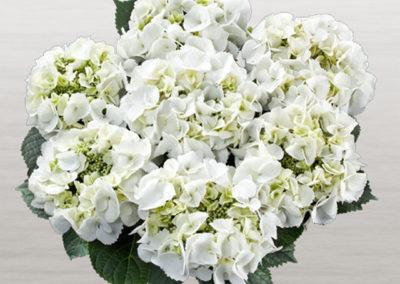 Hortensia Frisbee White