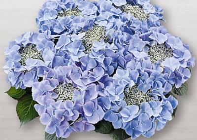 Hortensia Frisbee® Blue