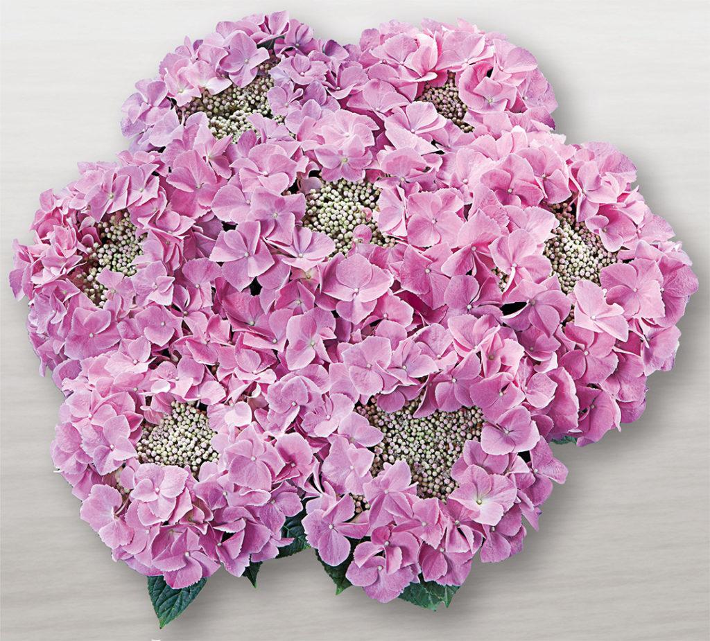 Hortensia Frisbee® Rosa