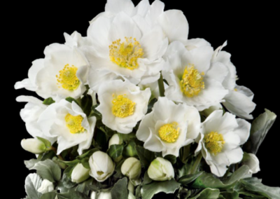 Helleborus Gold Collection Goldmarie®