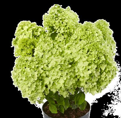 Hydrangea paniculata Pandora®