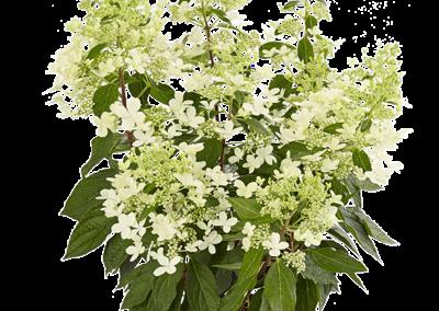 Hydrangea paniculata Pandria®