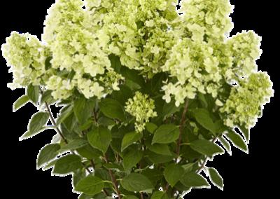 Hydrangea paniculata Panflora®