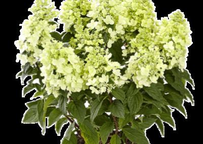 Hydrangea paniculata Panzola®